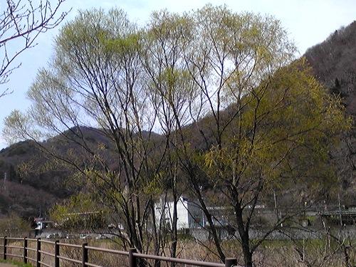 黄色の木(ダイ)