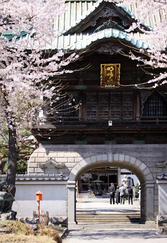 Sakura at Kamaishi.