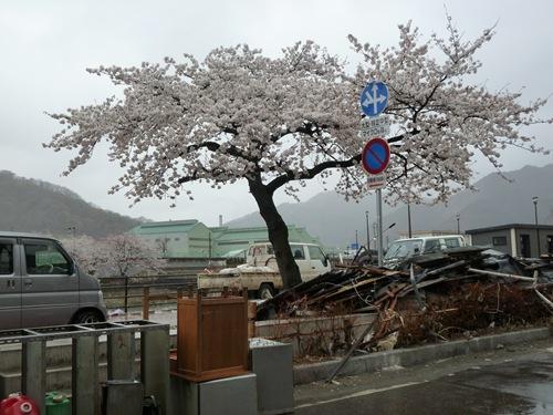 2011釜石のさくら05