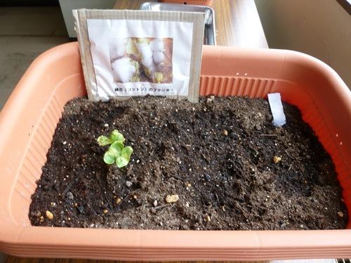 綿花(コットン)の栽培005