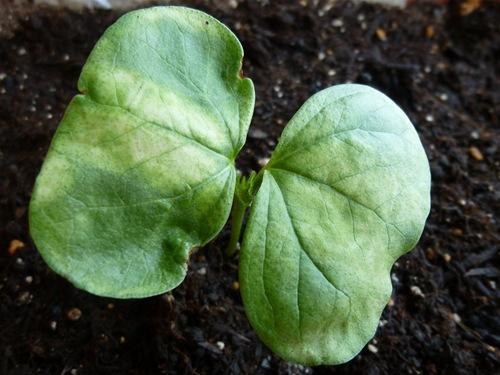 綿花(コットン)の栽培006