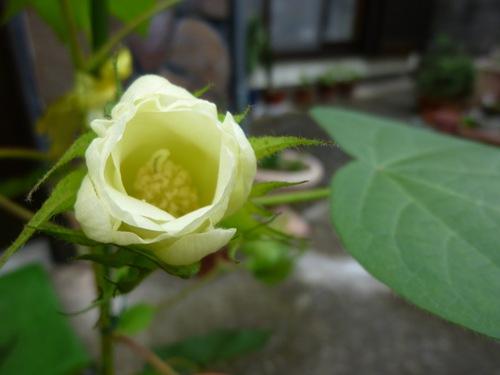 綿花(コットン)の栽培017