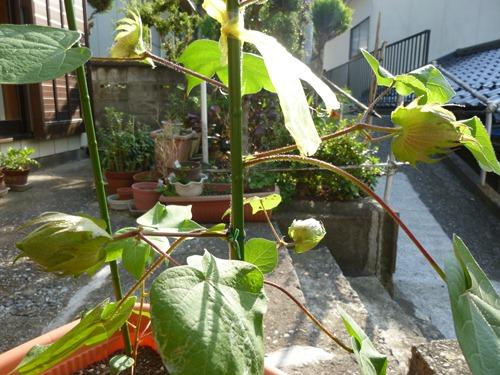 綿花(コットン)の栽培018