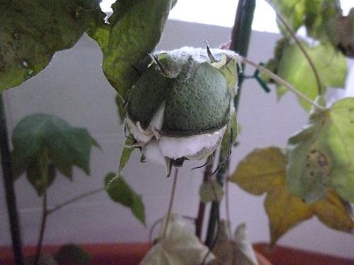 綿花(コットン)の栽培021