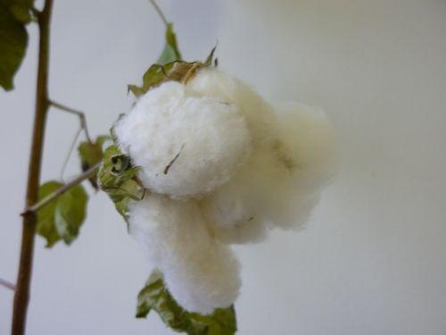 綿花(コットン)の栽培022