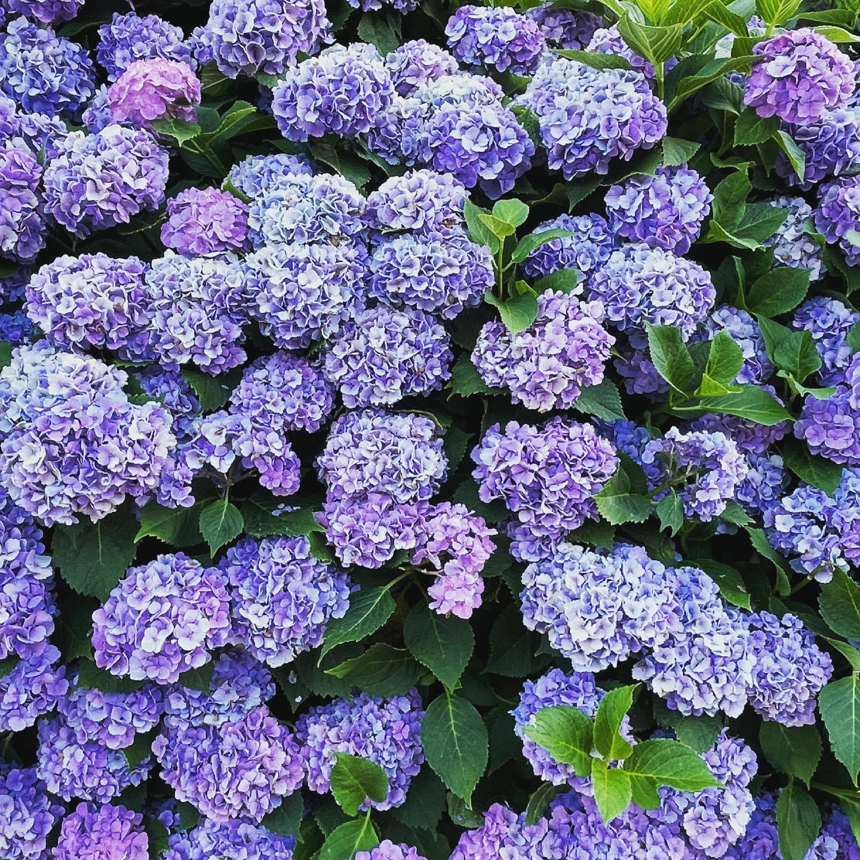 紫陽花の群れ集合体恐怖症の方いたら、ゴメンなさい。